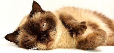 gato recostado