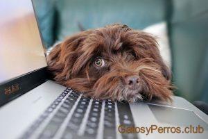 perro concentrado