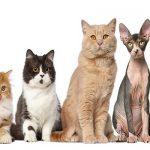 Razas de gatos según su pelo