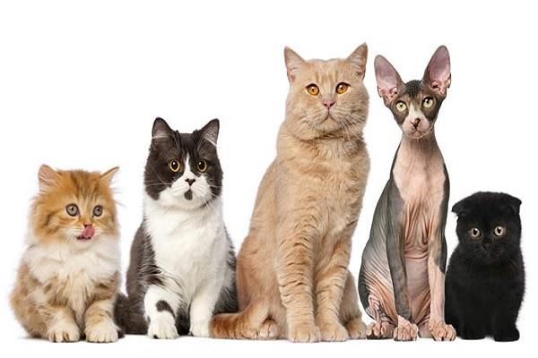 En este post te presentamos las razas de gatos según su pelo