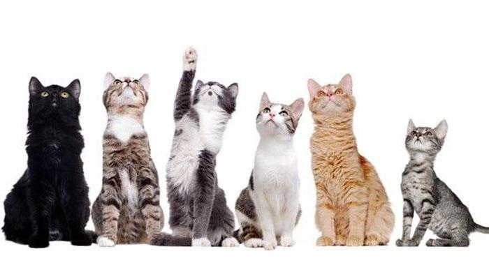 Razas de Gatos para un Piso