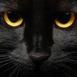 Razas de gatos negros