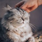 Razas de gatos más cariñosos
