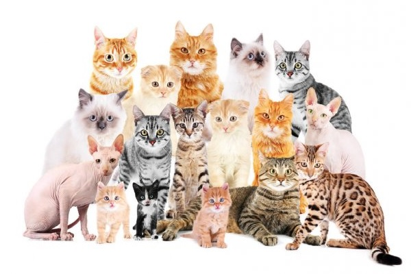 cuántas razas de gatos hay