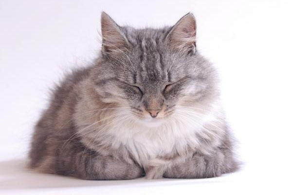 gatos alérgicos