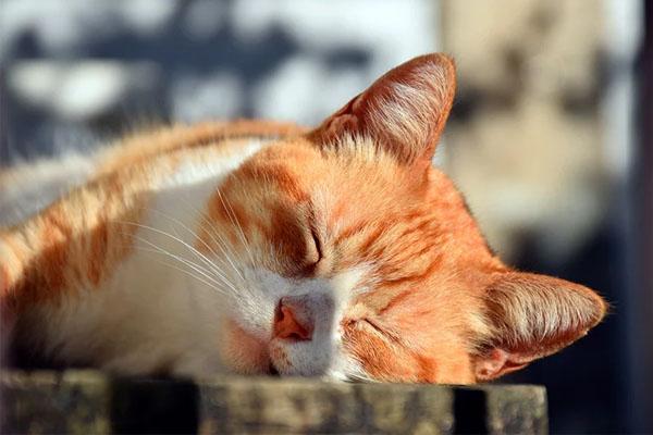 El calor en los gatos
